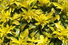 Croton. Royaltyfria Bilder