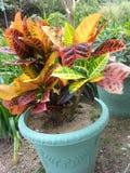 Croton Lizenzfreie Stockfotos