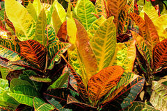 Croton Zdjęcia Stock