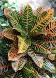 Croton photos libres de droits
