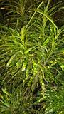 Croton Lizenzfreie Stockbilder