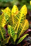 Croton Imagem de Stock