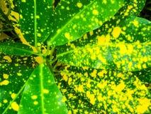 Croton, Codiaeum variegatium u. x28; L u. x29; Blume, ist Anlage zum Dekor im Kaimanfisch Lizenzfreies Stockfoto