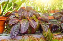 Croton Codiaeum variegatum plants with colorful leaves in tropical garden. Croton Codiaeum variegatum plants with colorful leaves in tropical garden Stock Photo