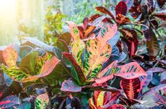 Croton Codiaeum variegatum plants with colorful leaves in tropical garden. Croton Codiaeum variegatum plants with colorful leaves in tropical garden Royalty Free Stock Photos