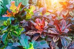 Croton Codiaeum variegatum plants with colorful leaves in tropical garden. Croton Codiaeum variegatum plants with colorful leaves in tropical garden Stock Images