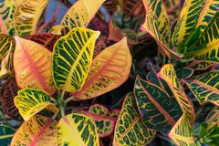 Croton & x28;Codiaeum variegatum& x29; plants with colorful leaves in tropical garden. Croton & x28;Codiaeum variegatum& x29;. plants with colorful Royalty Free Stock Photography