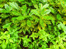 Croton-, Codiaeumvariegatium & x28; L & x29; Blume är växten till dekoren i gar Arkivfoton