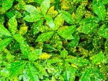 Croton-, Codiaeumvariegatium & x28; L & x29; Blume är växten till dekoren i gar Royaltyfri Bild