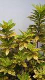Croton colorido Fotos de Stock Royalty Free