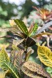 Croton con las hojas de color verde amarillo grandes Imágenes de archivo libres de regalías