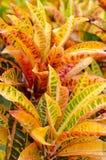 Croton de jardin Photographie stock