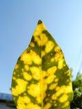 Croton del giardino o Croton o alloro variegato Fotografie Stock Libere da Diritti