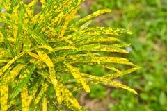 Croton del jardín Imagen de archivo