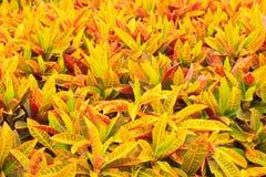 Croton del jardín Imagen de archivo libre de regalías