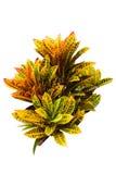 Croton del jardín Foto de archivo libre de regalías