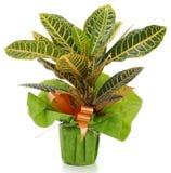 Croton della pianta ornamentale Fotografia Stock Libera da Diritti
