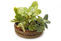 Croton dello Syngonium ed altre piante in vaso Fotografia Stock Libera da Diritti