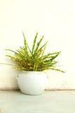 Croton do jardim no potenciômetro branco Imagens de Stock Royalty Free