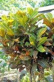 Croton. Evergreen shrub with stiff leaves. Royalty Free Stock Photography