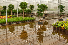 Croton and Ficus plants in a plant nursery Stock Images