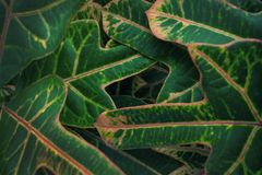 Croton Green leaves close up. Natural pattern background, beauti stock photo