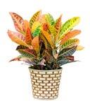 Croton house plant royalty free stock photo