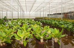 Croton hydroculture plants in a nursery Stock Images