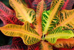 Croton indoor plant Royalty Free Stock Photos