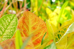 Croton Leaf Stock Images