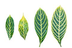 Croton leaf stock image