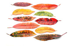 Free Croton Leaves Royalty Free Stock Photography - 16035297