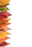 Croton Leaves Royalty Free Stock Photo