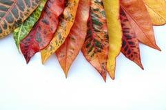 Croton Leaves Royalty Free Stock Image