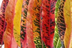 Croton Leaves Stock Image