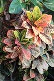 Croton mexicano variado Fotos de archivo libres de regalías