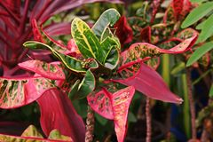 Croton, colorful leaves smal plant Stock Images