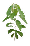 Croton oblongifolius Roxb. Stock Image