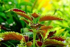 Croton oder Rushfoil-Anlage stockbild