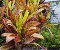 Croton plant (Codiaeum variegatum) Royalty Free Stock Image