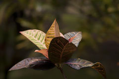 Croton Plant with Colored Leaves. Croton plant with variegated leaves growing outdoors stock photography