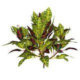 Croton (plant) Royalty Free Stock Photo