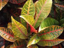 Croton Plant in a Garden royalty free stock images