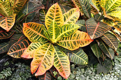 Croton Plant Grown in an Arid Dome Structure in Milwaukee, WI, USA. Royalty Free Stock Photos