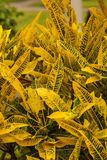 Croton plant. Kenya, Africa Stock Photography