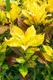 Croton plant Royalty Free Stock Images