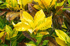 Croton plant Royalty Free Stock Photography