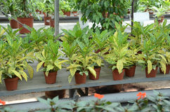 Croton plants with colorful leaves Royalty Free Stock Images