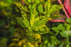 Croton plants with colorful leaves. Tropical plants with yellow stock photos
