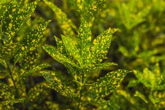 Croton plants with colorful leaves. Tropical plants with yellow stock photography